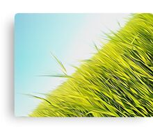 green wheat Canvas Print
