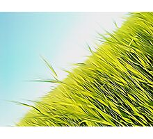 green wheat Photographic Print