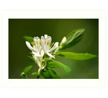 White Honeysuckle Flowers Art Print