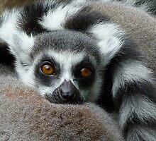 Lemur Leisure Time by Margaret Saheed