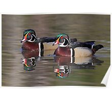 Male Wood Ducks Poster
