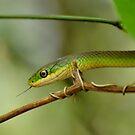 Rough Green Snake by Kathy Baccari