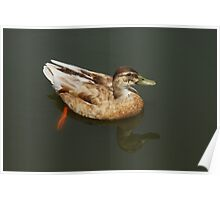 Mallard Mixed Breed Duck Drake on lake Poster