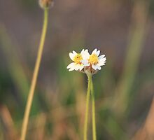 Little White Flower II by BengLim
