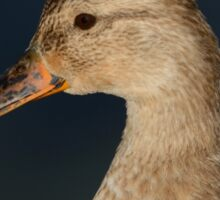 Portrait of Mallard Mixed Breed Duck Hen Sticker