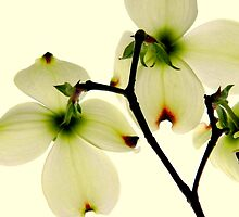 Dogwood Delight  ^ by ctheworld