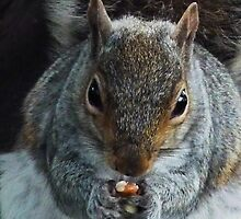 Grey Squirrel by Robert Gipson