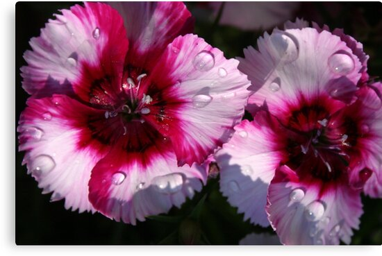Dianthus in Sun and Rain by Laurel Talabere