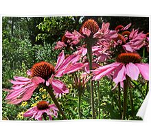 Echinacea Cone Flowers Poster