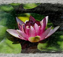 Pink Water Lily~ by virginian