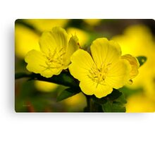 Colorful Yellow Primrose Flowers Canvas Print