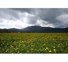 Fields of dandelion Photographic Print