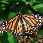Awesome Monarch by Creative Minds