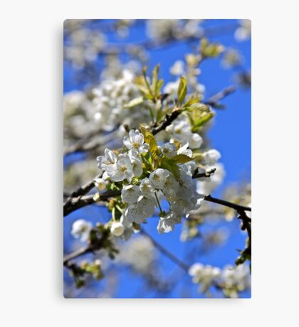 backtorn blossom Eire Canvas Print