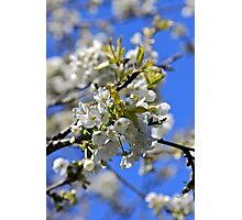 backtorn blossom Eire Photographic Print