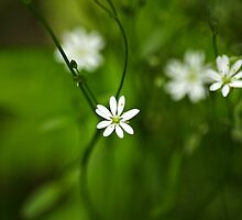 Chickweed Wildflowers by Christina Rollo