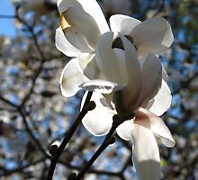 Magestic magnolia by MarianBendeth