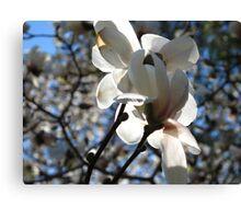 Magestic magnolia Canvas Print