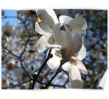 Magestic magnolia Poster