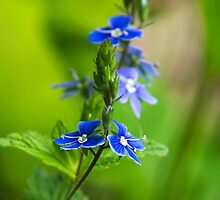Colorful Blue Speedwell Flowers by Christina Rollo