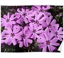Phlox Flowers Nature Abstract Art Poster