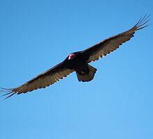 Turkey Vulture by gerardofm4