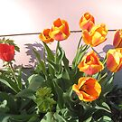Tulips in a Row by Elizabeth Bennefeld