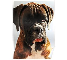 I'm sorry... won't do it again  -Boxer Dogs Series- Poster