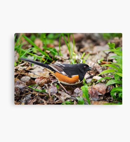 Eastern Towhee Canvas Print