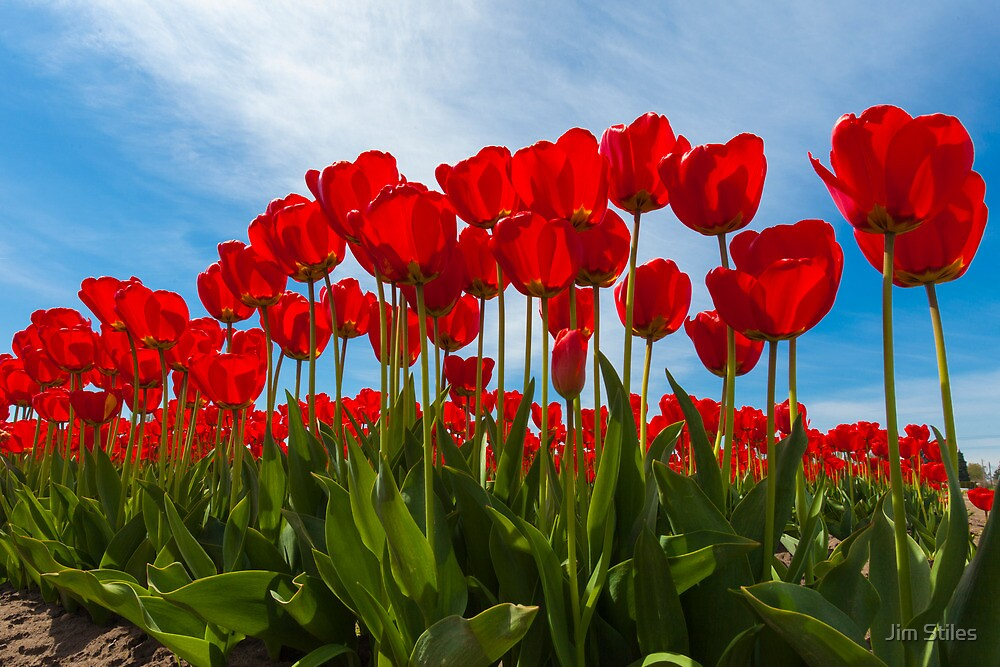Life from the Tulip's View by Jim Stiles