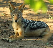 Black backed jackal by Explorations Africa Dan MacKenzie