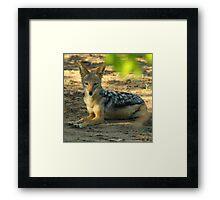 Black backed jackal Framed Print