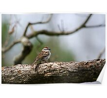 Chipping Sparrow in Tree Poster