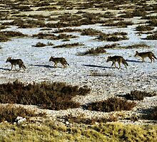 Black Backed Jackals on the Prowl by Carole-Anne