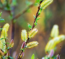 Pussy Willow Nature Abstract Art by Christina Rollo