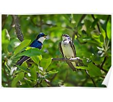 Tree Swallows Song Bird Art Poster