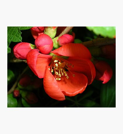 Japanese Quince Photographic Print