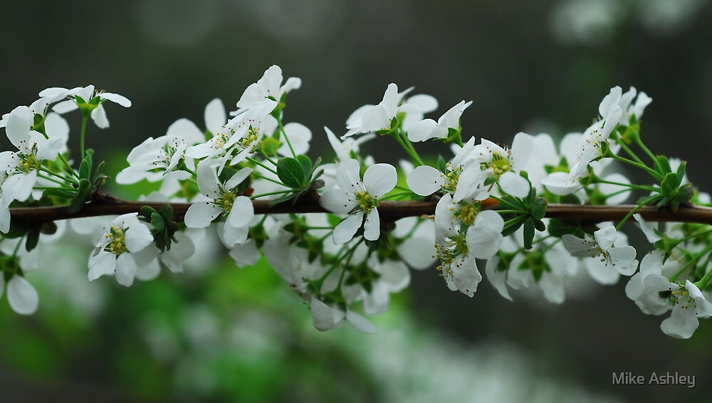 Cherry Blossoms (1) by Christian Eccleston