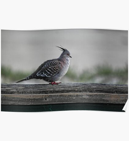 Crested Pigeon Poster
