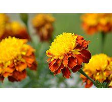Autumn Marigolds Photographic Print