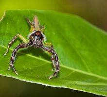 Male Green Jumping Spider by Jodie Williams