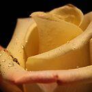 Rose Petals by karina5