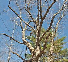 Old Maple Tree by Carolyn Clark