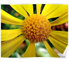 Freckled Daisy Poster