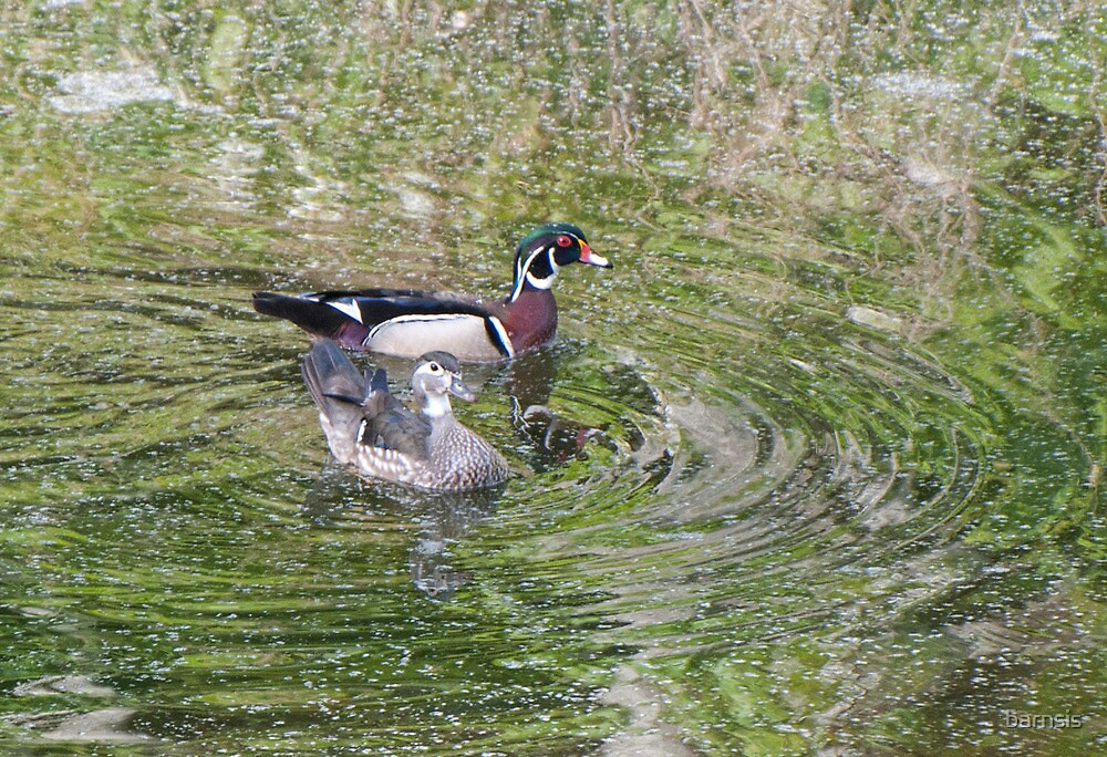 Mated Pair of Wood Ducks by barnsis