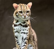 Very annoyed leopard cat by 6handsphoto