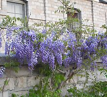 Wisteria on a wall by tanmari