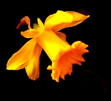 Daffodil on black by seanwareing