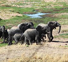 Small elephant herd on the move by nymphalid