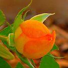 Orange Bud by Christine Ford